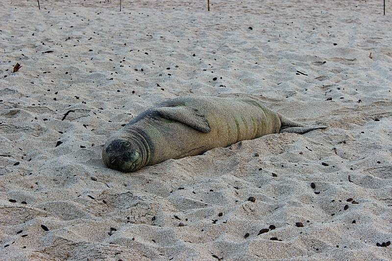 Hawaiian monk seal on the North Shore of Oahu