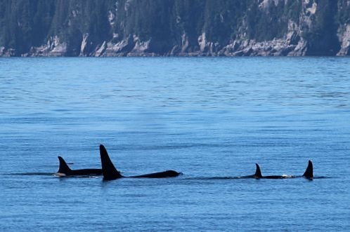 Orcas in Kenai Fjords National Park