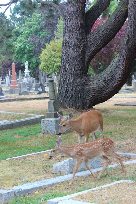 Deer in Ross Bay Cemetery