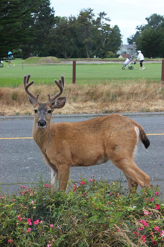 Deer in Victoria, Canada