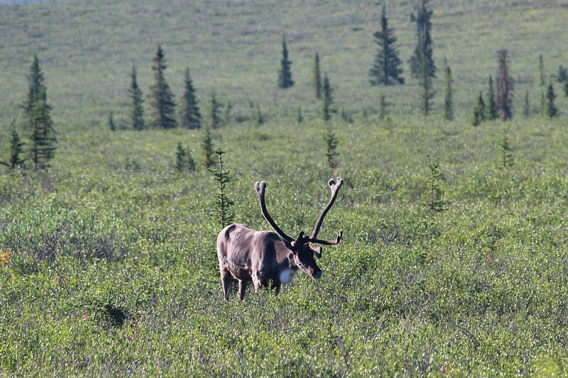 See caribou for free in Denali National Park