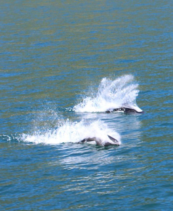 Dall's Porpoise in Kenai Fjords National Park in Alaska