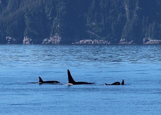 Pod of Orcas in Kenai Fjords National Park in Alaska