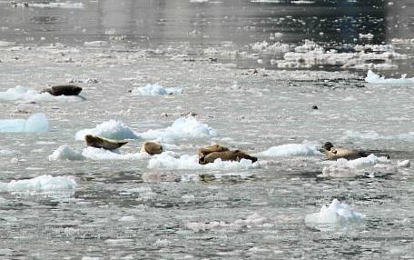 Seals on icebergs in Northwestern Fjord Glacier in Kenai Fjords National Park, Alaska