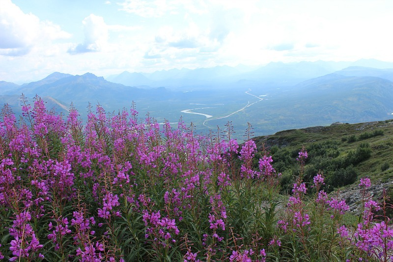 Fireweed while hiking in Denali National Park entrance area