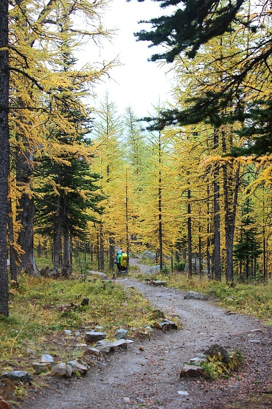 Golden larches along the Larch Valley trail in Banff National Park