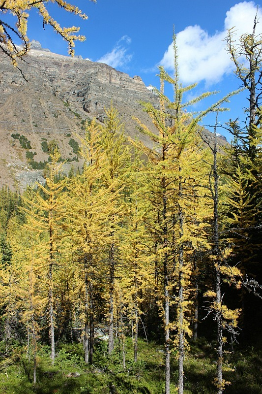 Golden larches on the Larch Valley hike near Moraine Lake in Banff National Park