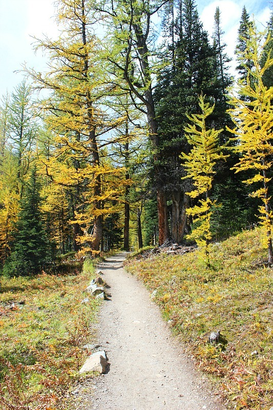 Golden larches on the Larch Valley hike in Banff National Park