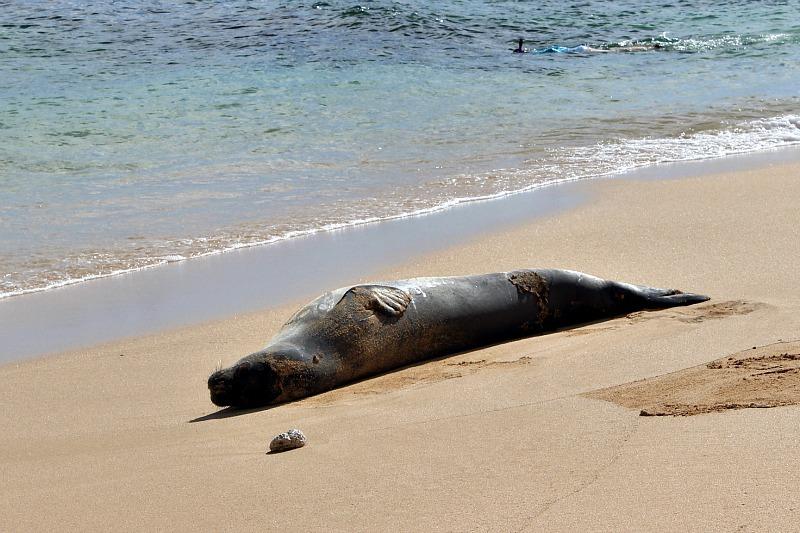 Hawaiian Monk Seal on Kauai, the Garden Island