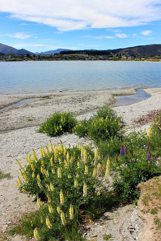 Lupins sprout around Lake Wanaka in the Otago Region of New Zealand in spring