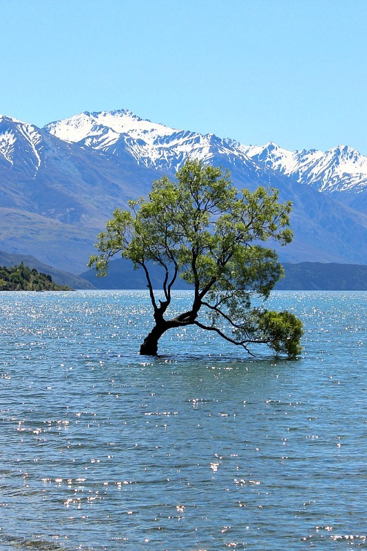 That Wanaka Tree, one of the big star attractions in the Otago Region
