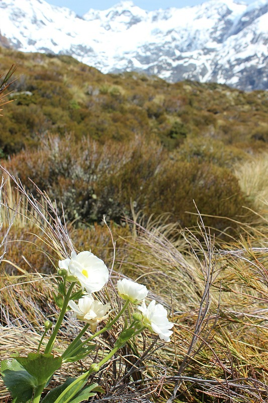 Mountain view lilies on the Hooker Valley Track