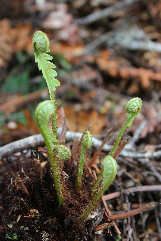 Native fern fronds