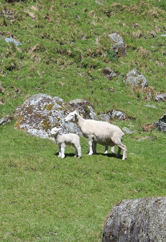 Newborn lamb and mum in Mount Aspiring National Park