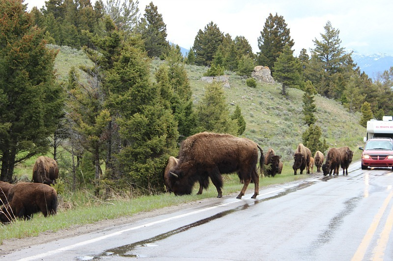 Bison traffic jam in Yellowstone National Park during month 11 of digital nomad life