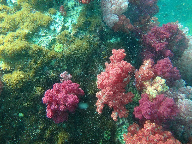 Colourful Jabang coral on our Koh Lipe Snorkeling day trip
