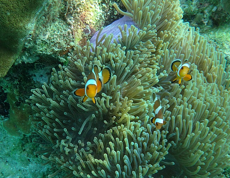 Nemos during our Koh Lipe snorkeling trip