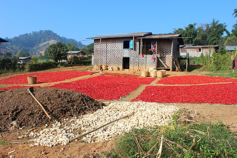 Myanmar trekking scenes: Chillis drying outside a house while