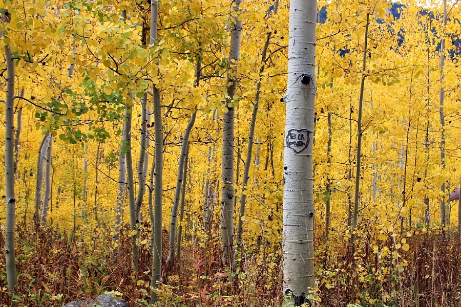 gorgeous-aspen-trees-near-aspen-colorado during month 16 of digital nomad life