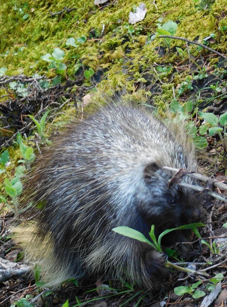 Porcupine in Banff National Park Canada - during month twenty four of digital nomad life