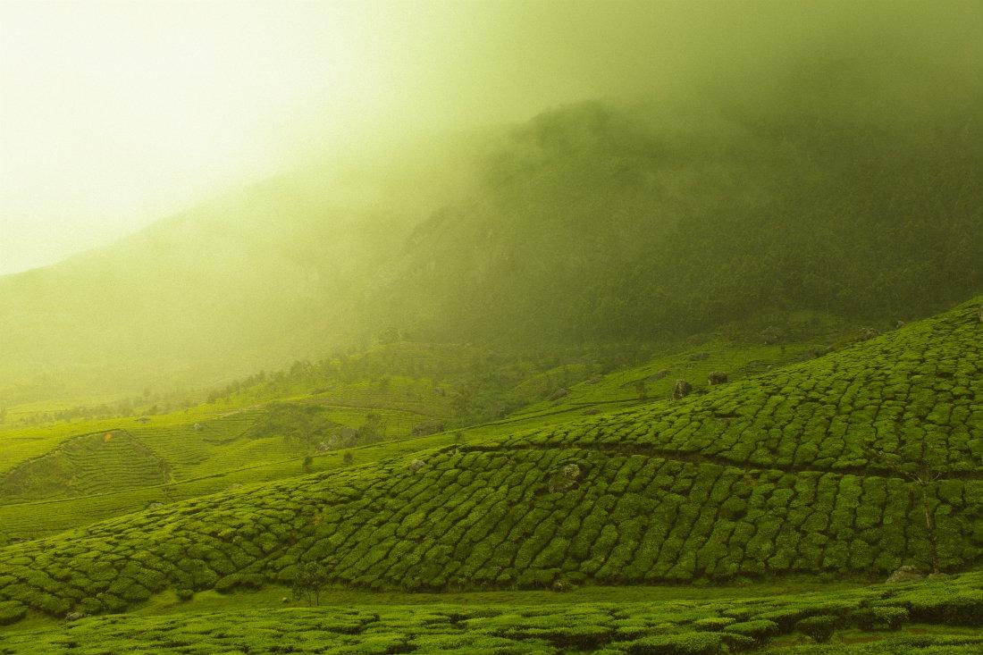 Tea Plantation in Kerala India
