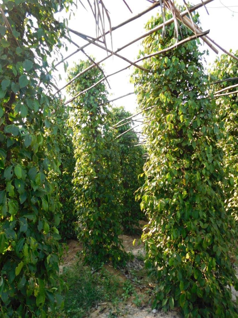 Seeing how peppercorns grow at La Plantation is one of the best things to do in Kampot