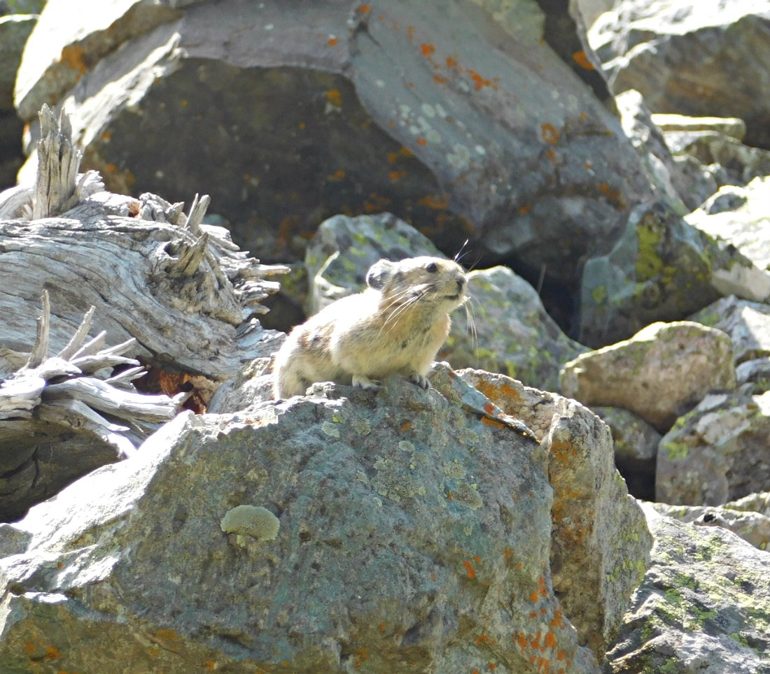 Pika on the hike from Aspen to Crested Butte in Maroon Bells-Snowmass Wilderness