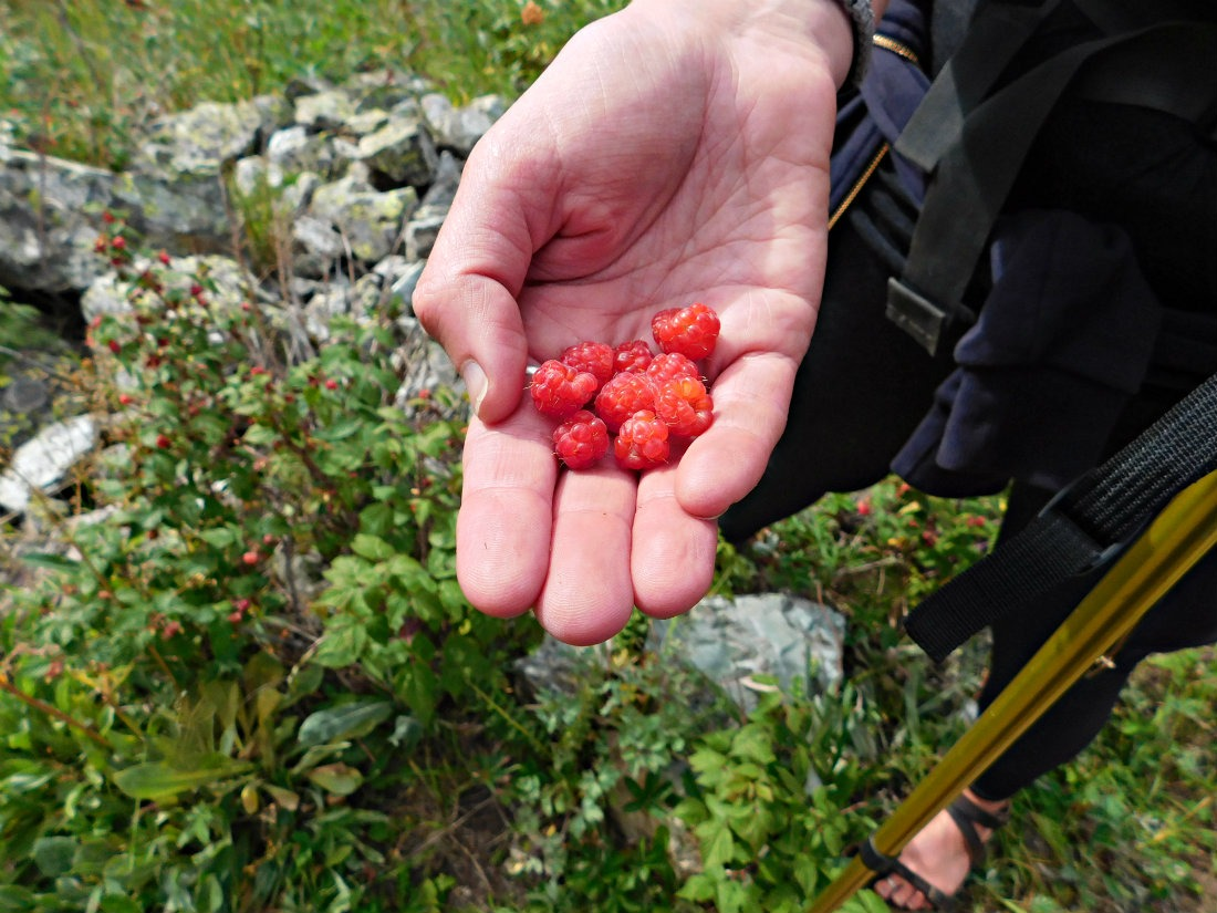 Wild raspberries on the East Maroon Pass trail from Crested Butte to Aspen