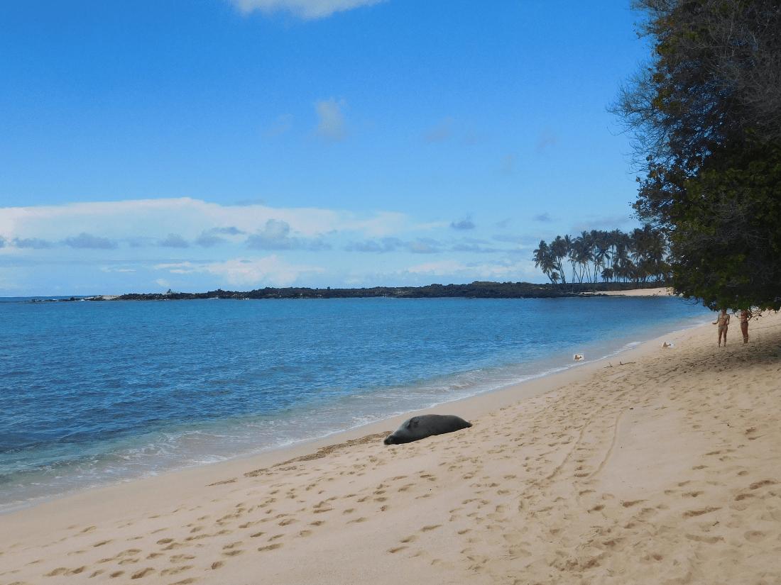 Hawaiian monk seal on the Big Island of Hawaii