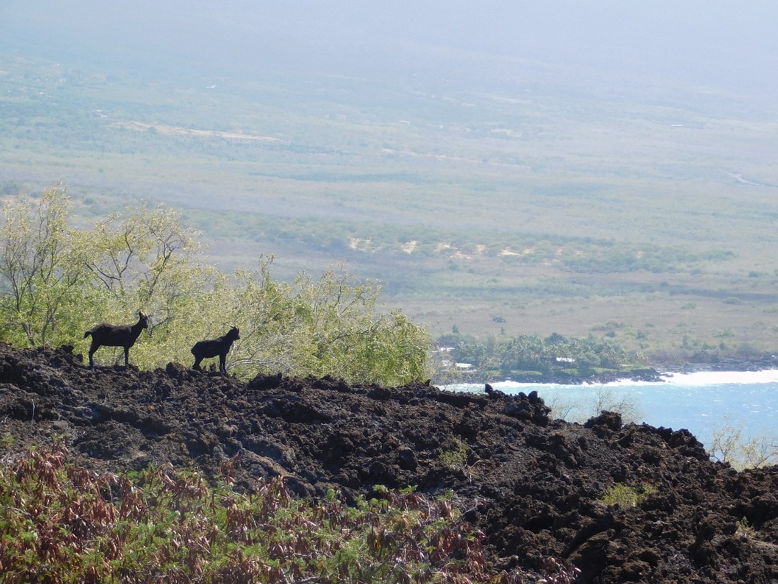 Wild goats on the Captain Cook Monument hike in Hawaii