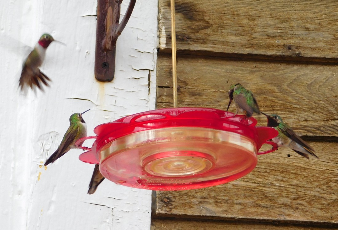 Hummingbirds in St Elmo