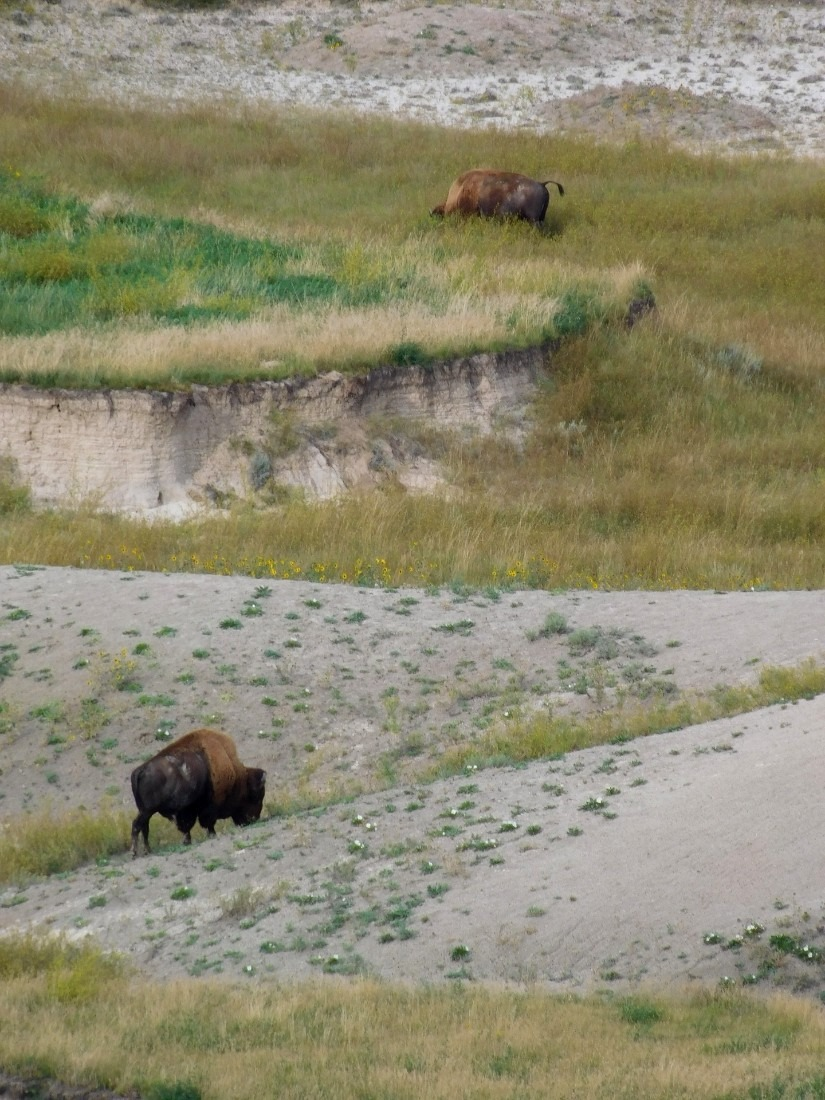 Buffalo in Badlands National Park