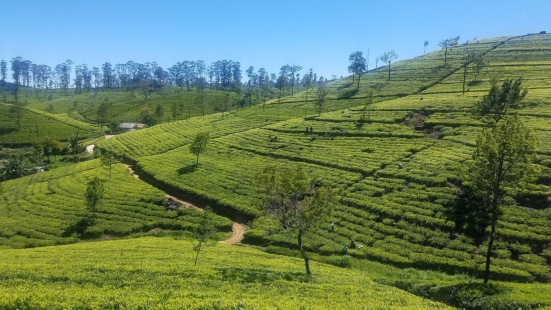 Dambethenna Tea Estate in Sri Lanka