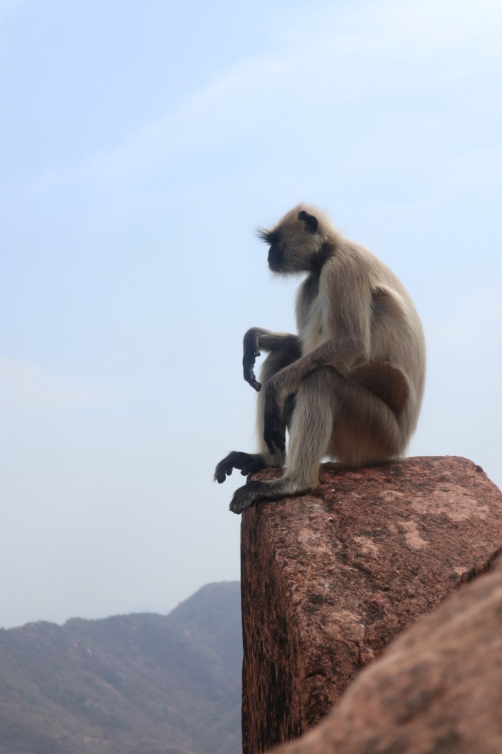 Langur at Jaigarh Fort - the best fort in Jaipur
