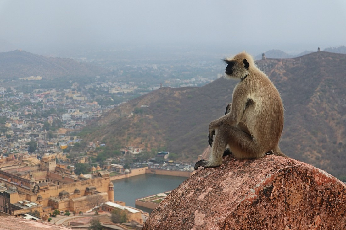 Langur monkey at Jaigarh Fort in Amer