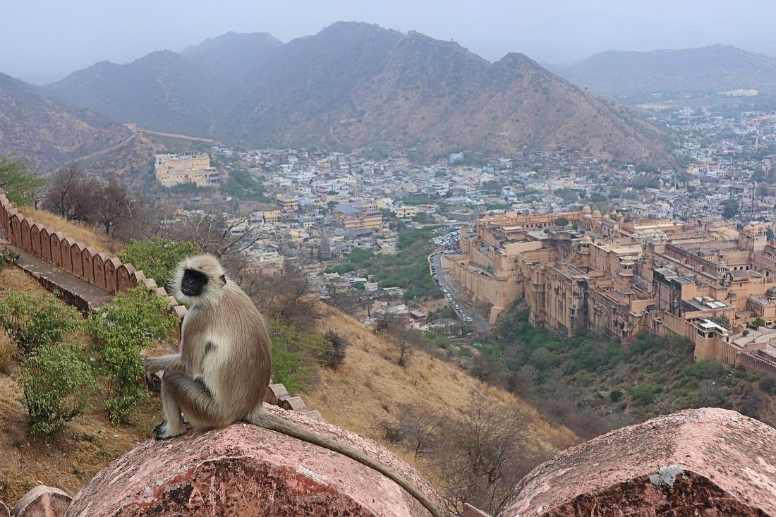 Monkey at Nahargarh Fort in Jaipur