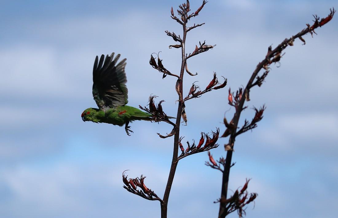 Kakariki in flight on Tiritiri Matangi Island