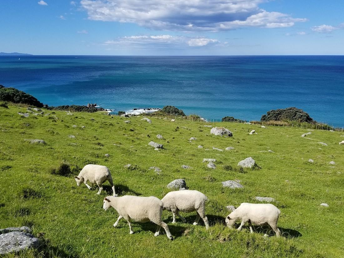 Sheep on Mauao