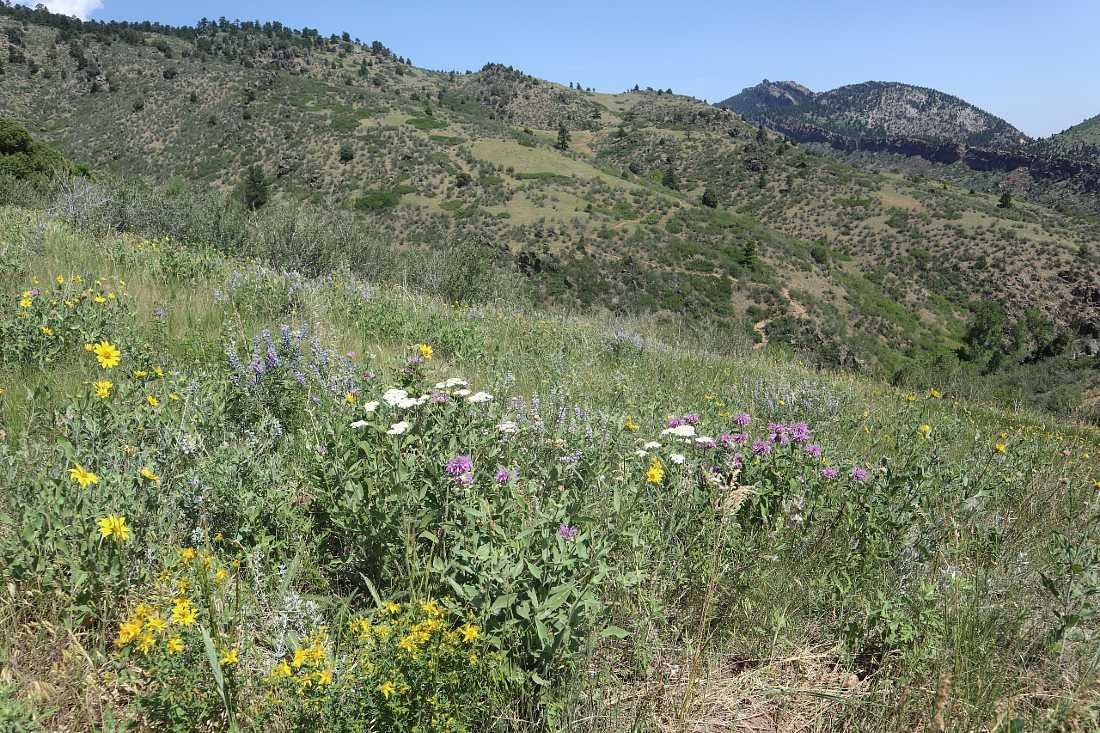Wildflowers in the White Ranch Park - one of the best hikes in Golden