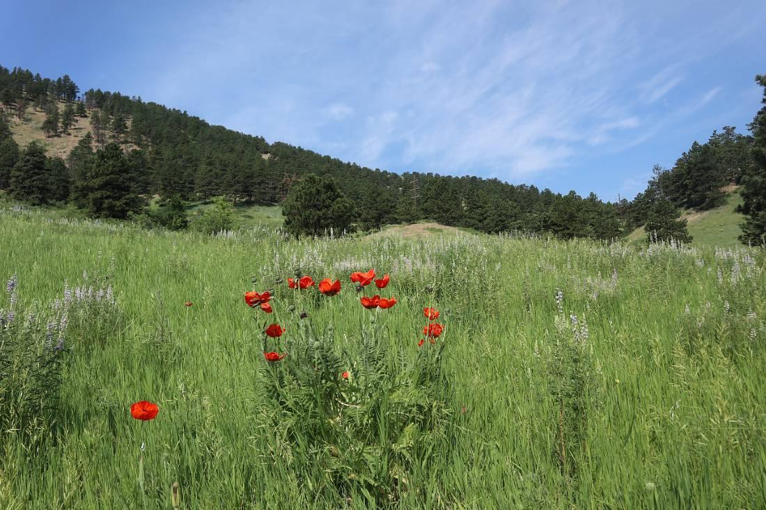 Wildflowers in Boulder