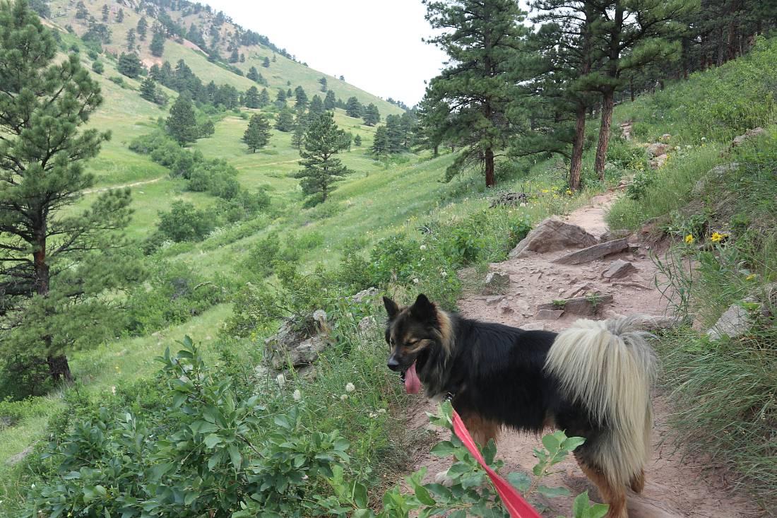 Walking Bear in Boulder